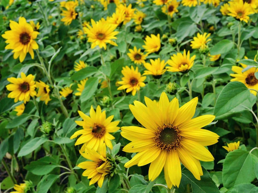 brightside medicine for mental wellness sunflower field
